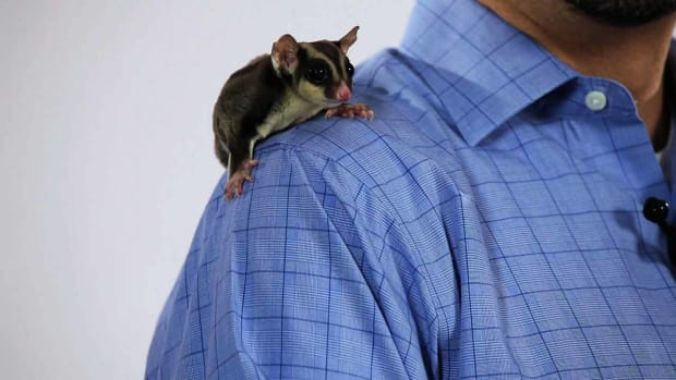 R. What's the Best Age to Adopt a Sugar Glider? Promo Image