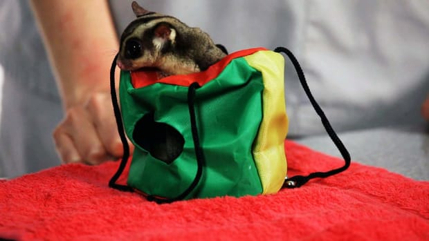 ZA. Do I Need a Sugar Glider Permit? Promo Image