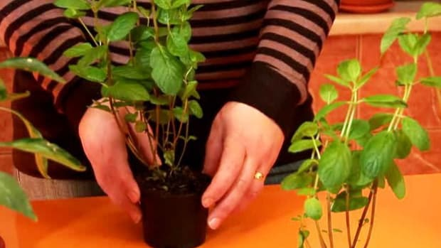 ZZW. How to Store Mint Leaves for the Winter Promo Image