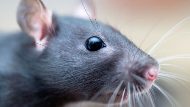 1_rat_basics