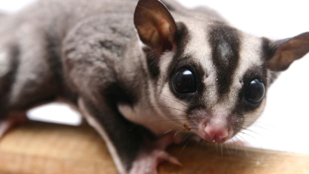 sugar_glider_topic