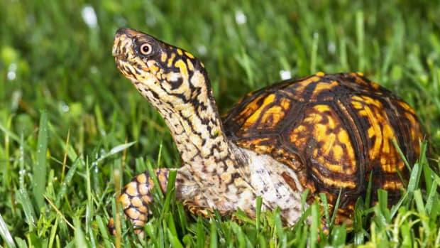 X. What's a Box Turtle? Promo Image