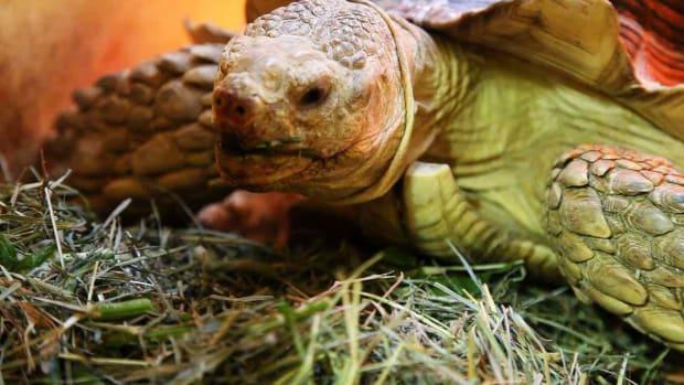 ZJ. What's a Sulcata Tortoise? Promo Image
