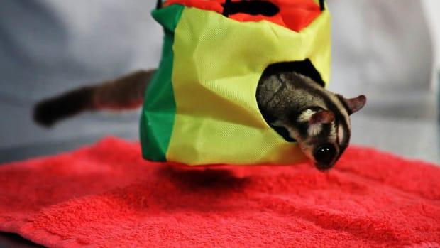 B. Do Sugar Gliders Make Good Pets? Promo Image