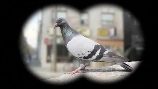 A. How to Identify Birds: The Pigeon Promo Image