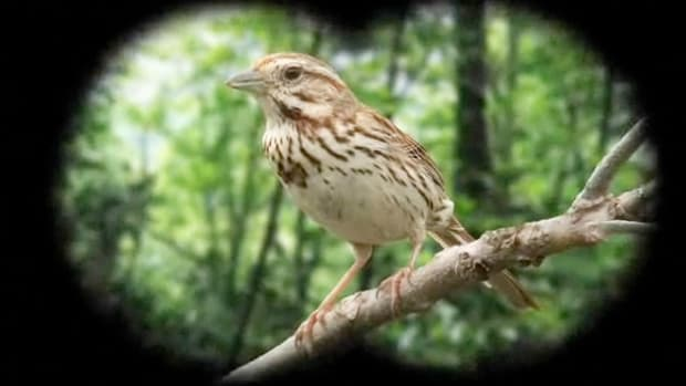 F. How to Identify Birds: The Song Sparrow Promo Image