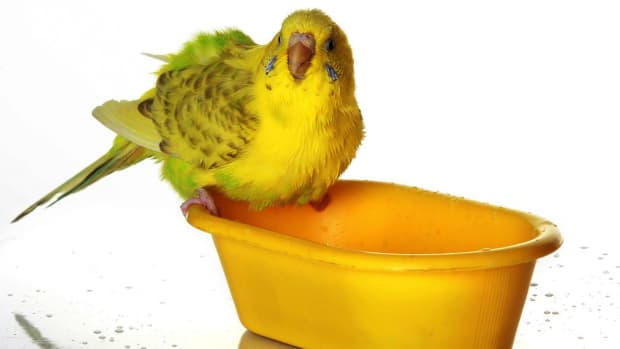 V. How to Bathe a Pet Bird Promo Image