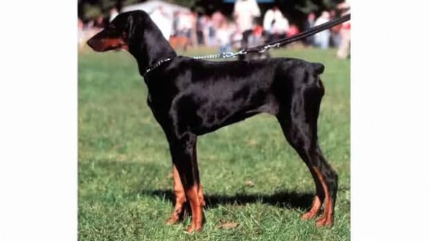 K. Pros & Cons of the Doberman Pinscher Breed Promo Image