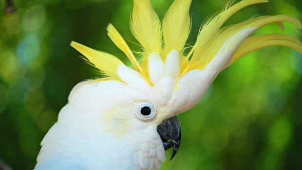 ZS. How to Take Care of a Cockatoo Promo Image