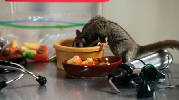 H. How to Deal with Smelly & Messy Sugar Gliders Promo Image