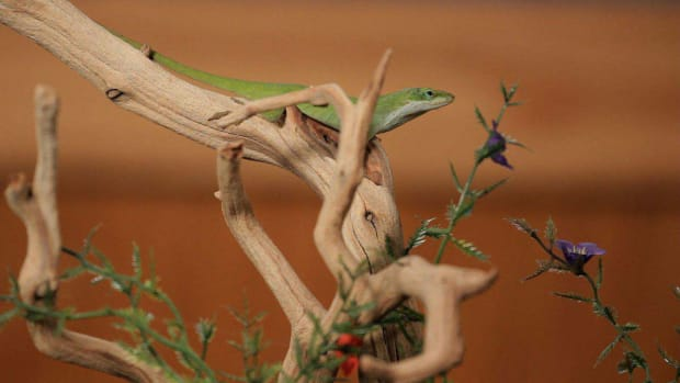 B. 6 Care Tips for Green & Brown Anoles Promo Image