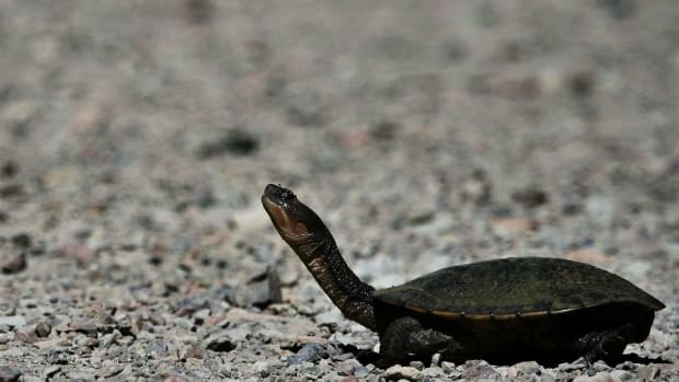 T. How to Recognize Turtle Disease Symptoms Promo Image