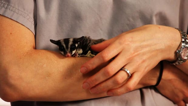 ZF. How to Treat Sugar Glider Diarrhea Promo Image