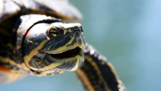 ZE. What's a Red-Eared Slider Turtle? Promo Image