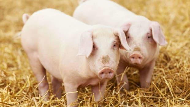 Y. Should I Get My Pig Spayed or Neutered? Promo Image