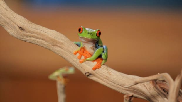 G. 5 Cool Facts about Red-Eyed Tree Frogs Promo Image