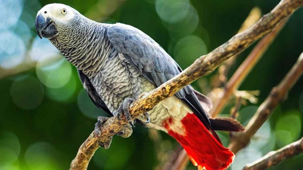 ZU. How to Take Care of an African Grey Parrot Promo Image