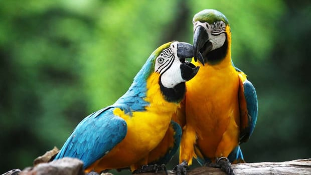 ZV. How to Take Care of a Macaw Promo Image