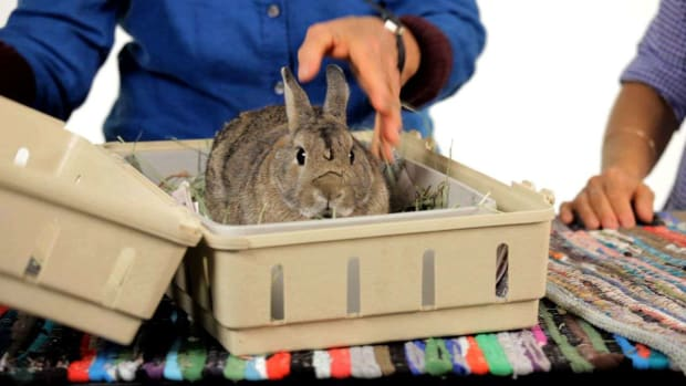 ZD. How to Take Your Pet Rabbit on a Car Trip Promo Image