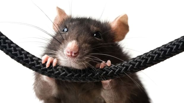ZC. Best Toys for Pet Rats Promo Image