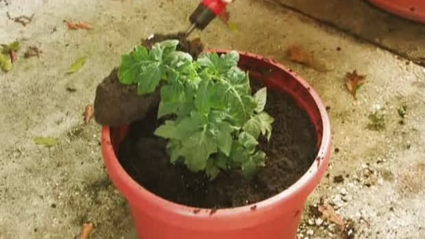 H. How to Grow Tomatoes with Container Gardening Promo Image