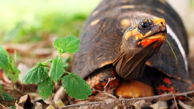 ZF. What's a Red-Footed Tortoise? Promo Image
