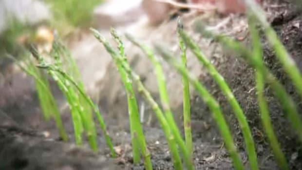 G. How to Grow Asparagus Promo Image