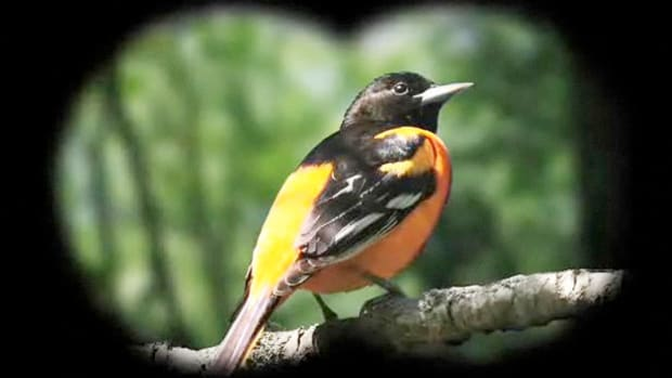 C. How to Identify Birds: The Northern Oriole Promo Image