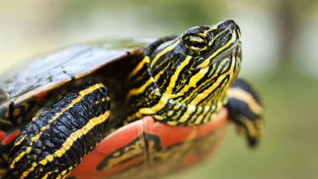 ZC. What's a Painted Turtle? Promo Image