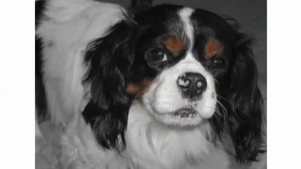 N. Pros & Cons of the Cavalier King Charles Spaniel Breed Promo Image