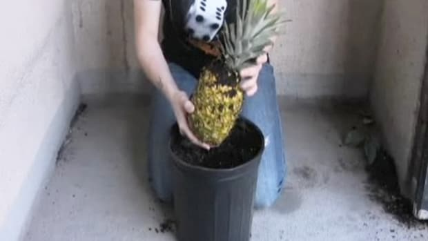 L. How to Grow Your Own Pineapple at Home Promo Image