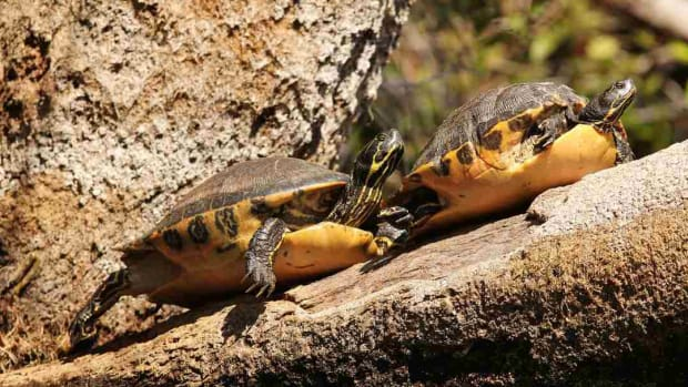 ZK. What's a Yellow-Bellied Slider? Promo Image