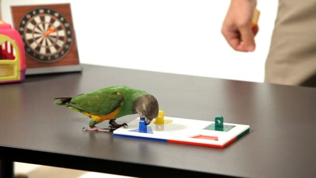 ZD. How to Teach Your Parrot to Do a Puzzle Promo Image