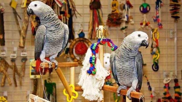 B. Does a Parrot Make a Good Pet? Promo Image