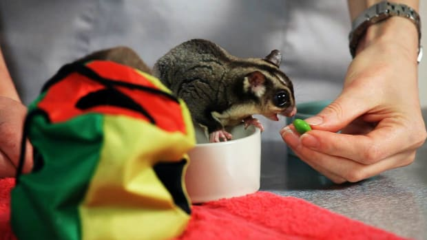 T. How to Feed a Sugar Glider Promo Image