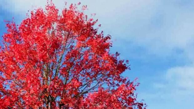 Y. How to Know If You Can Grow an Autumn Blaze Maple Tree Promo Image