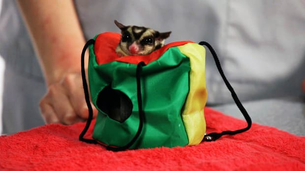 ZG. How to Treat a Sugar Glider Abscess Promo Image