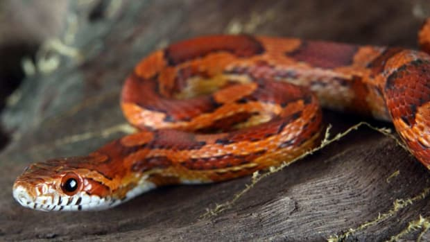 F. How to Take Care of a Corn Snake Promo Image