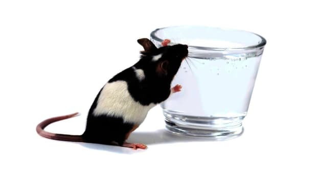 G. How Much Drinking Water Do Pet Rats Need? Promo Image