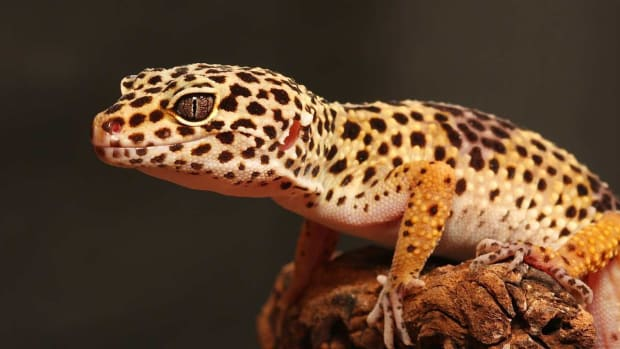ZA. What Are Common Diseases in Leopard Geckos? Promo Image
