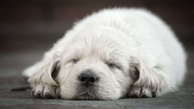 ZF. How to Keep Your Puppy from Crying at Night Promo Image