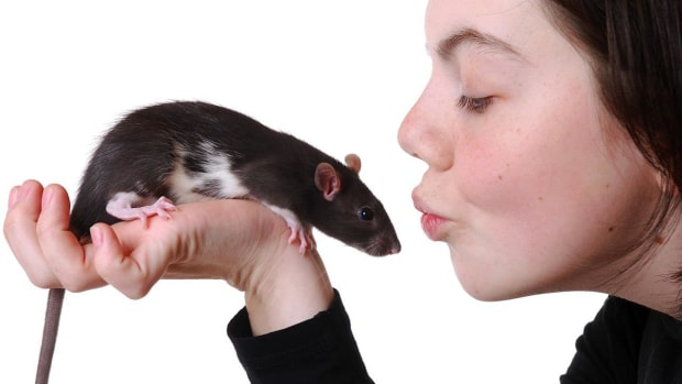 N. How to Hold a Pet Rat Promo Image