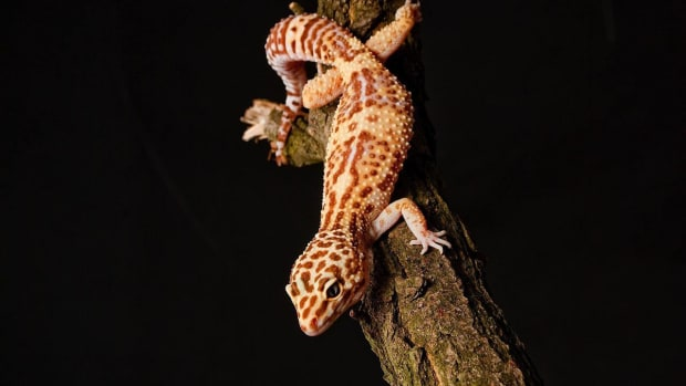 Y. How Do Leopard Geckos Compare to Other Geckos? Promo Image
