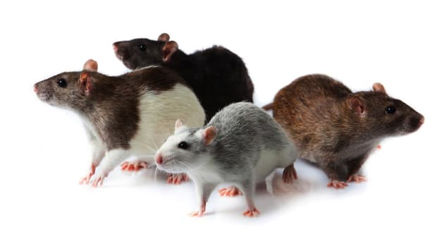 ZM. What Are Pet Rat Meetup Groups? Promo Image