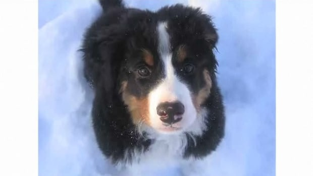 D. Pros & Cons of the Bernese Mountain Dog Breed Promo Image