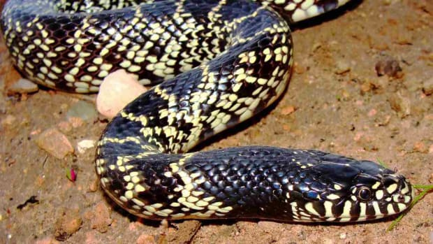 I. California King Snake vs. Ball Python Promo Image