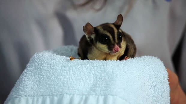 ZE. Sugar Glider Myths & Scams Promo Image