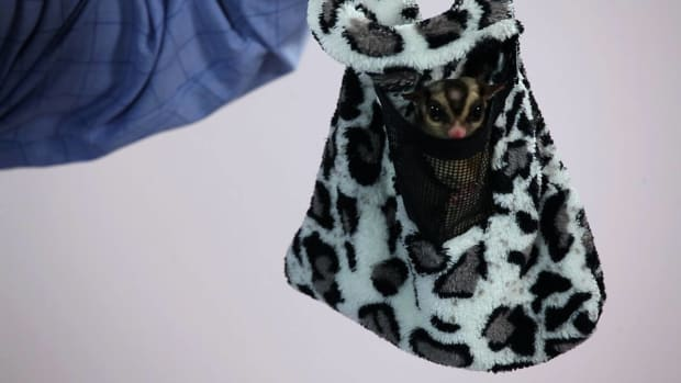 X. How to Care for a Sugar Glider's Pouch Promo Image