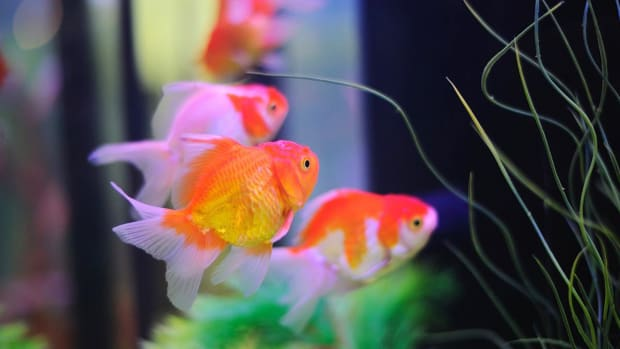ZF. How to Keep Koi in a Fish Tank Promo Image