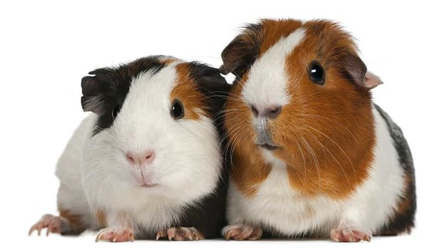 O. Pros & Cons of Pet Guinea Pigs Promo Image